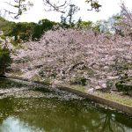 桜と地魚寿司